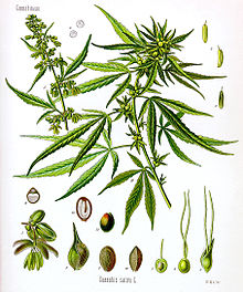 220px-Cannabis_sativa_Koehler_drawing