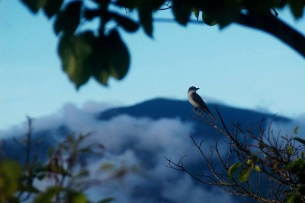 loggerhead bird